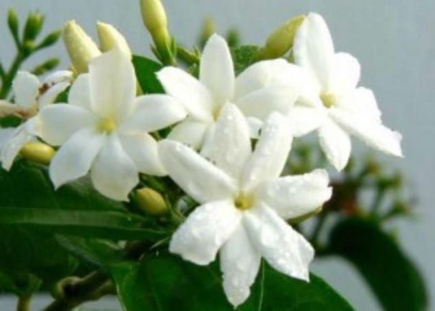 Jasmine flowers scent