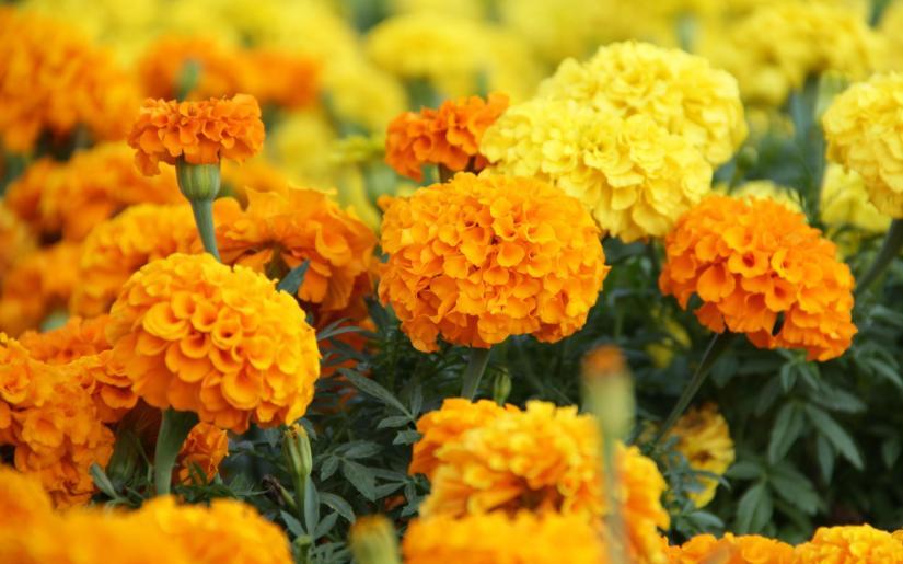 marigold flower fragrance